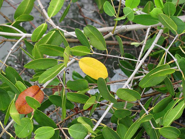 Mangroveleaf
