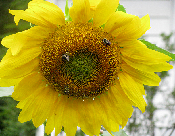 Sunflower5