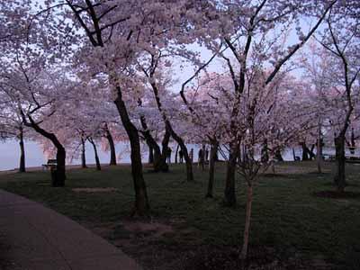 Blossoms6